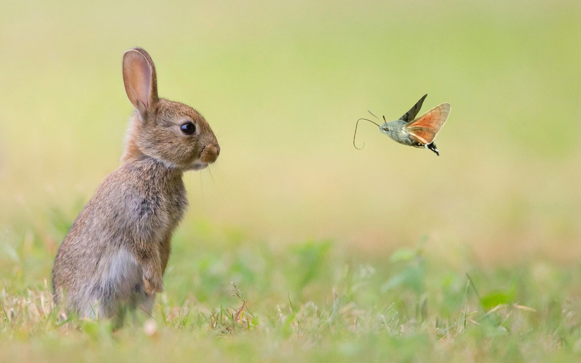 Bunny And Hummingbird Hawk Moth Full HD Wallpaper Background