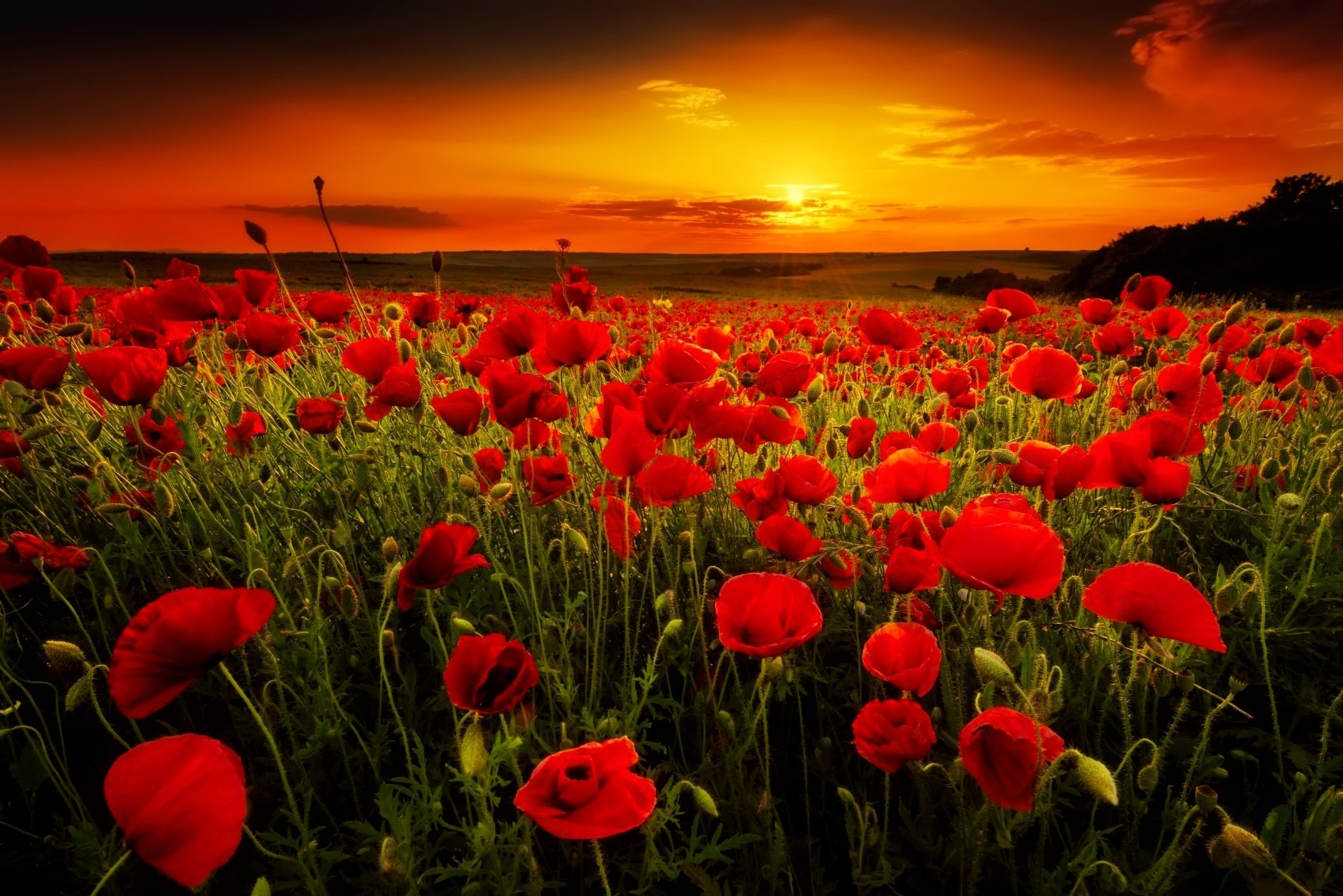 poppy field at sunset fond d 39 cran and arri re plan 1696x1132 id 692129 wallpaper abyss. Black Bedroom Furniture Sets. Home Design Ideas