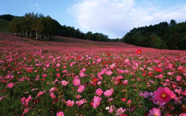 Earth Cosmos Flowers Flower Field Pink Flower Red Flower HD Wallpaper   Background Image