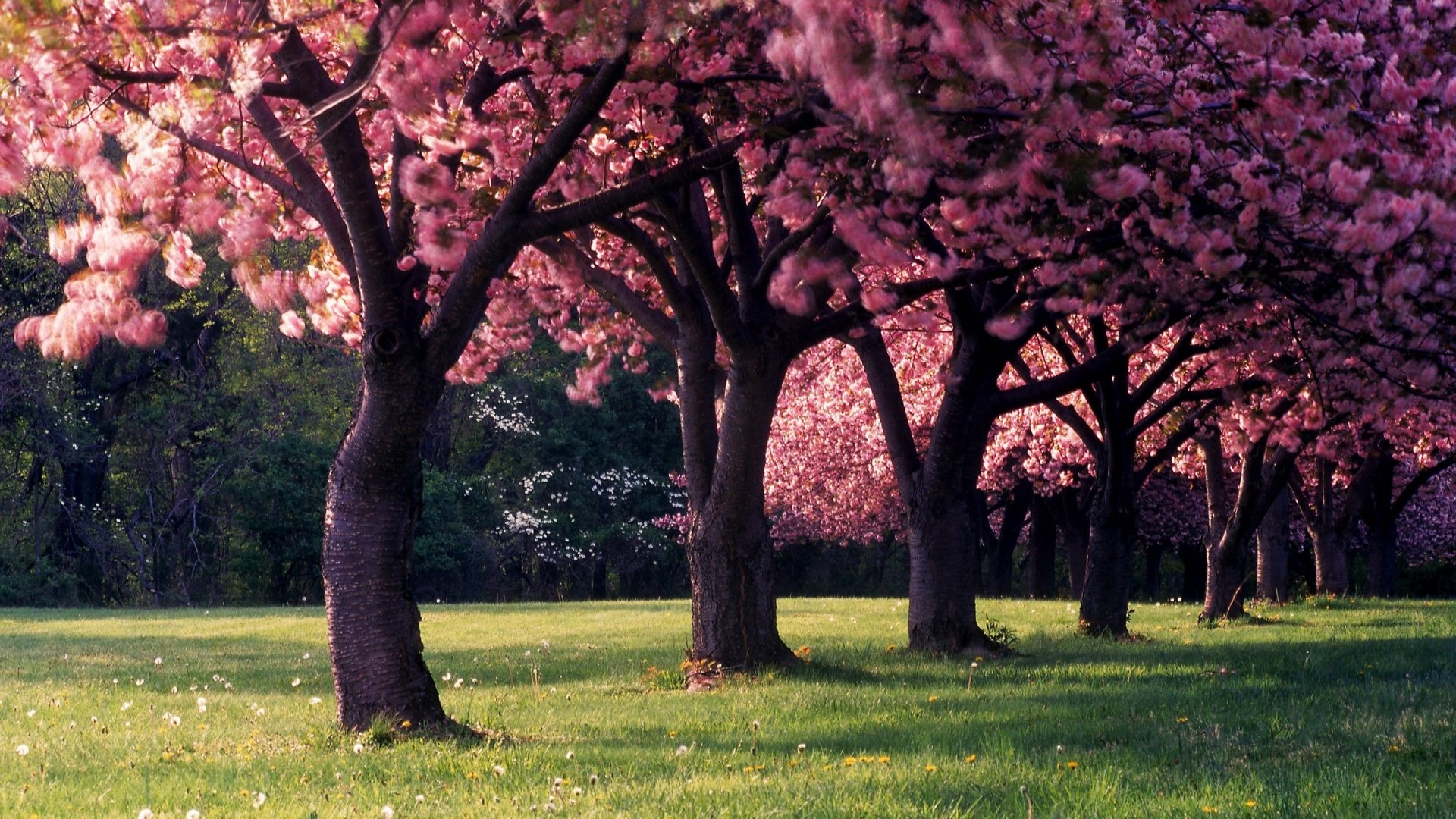 Earth - Spring  Pink Flower Earth Tree Blossom Wallpaper