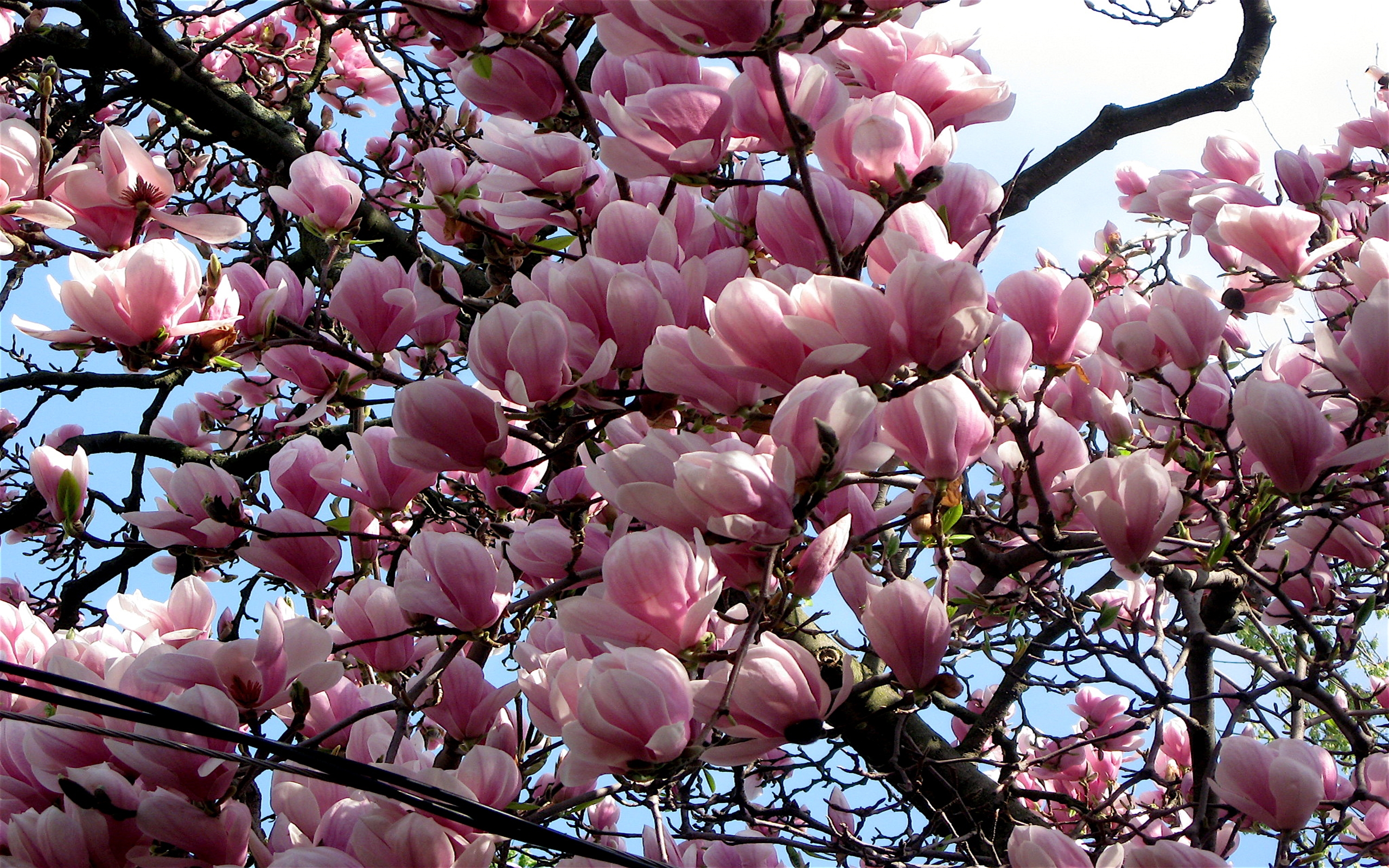 magnolia blossoms full hd wallpaper and background image