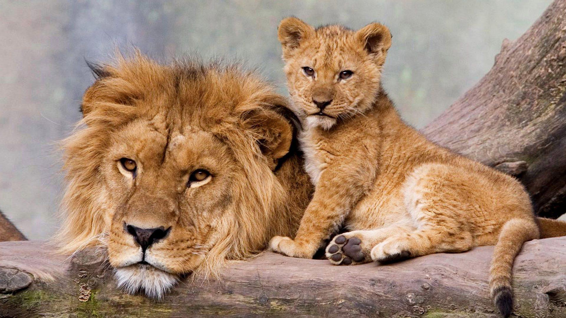 Lion with his Cub Fond d'écran HD | Arrière-Plan | 1920x1080 | ID:700952 - Wallpaper Abyss