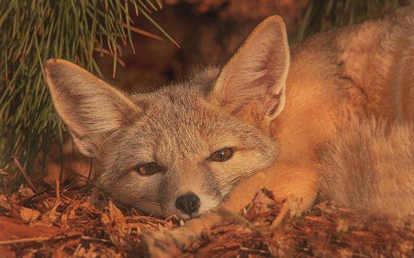 Animal Fox Sleeping HD Wallpaper   Background Image