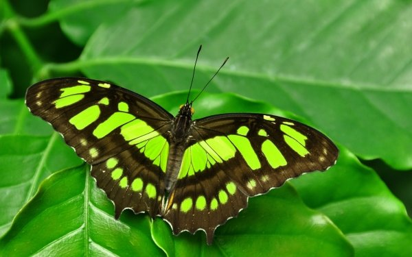 Animal Butterfly Insect Green Leaf Close-Up HD Wallpaper   Background Image