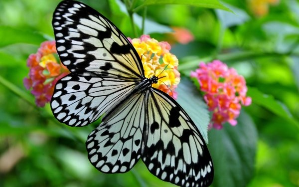 Animal Butterfly Insect Close-Up Flower Plant Macro Black & White HD Wallpaper   Background Image