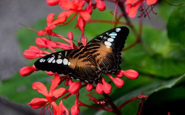 Animal Butterfly Insect Flower Red Flower HD Wallpaper   Background Image