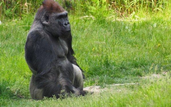 Animal Gorilla Monkeys Ape Primate Mammal HD Wallpaper | Background Image
