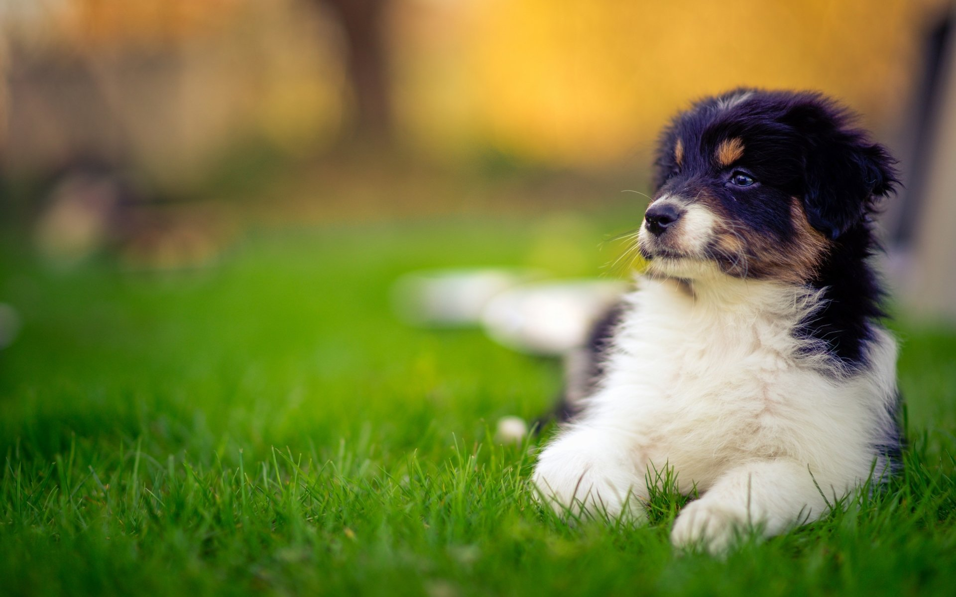 Animal - Australian Shepherd  Dog Puppy Wallpaper