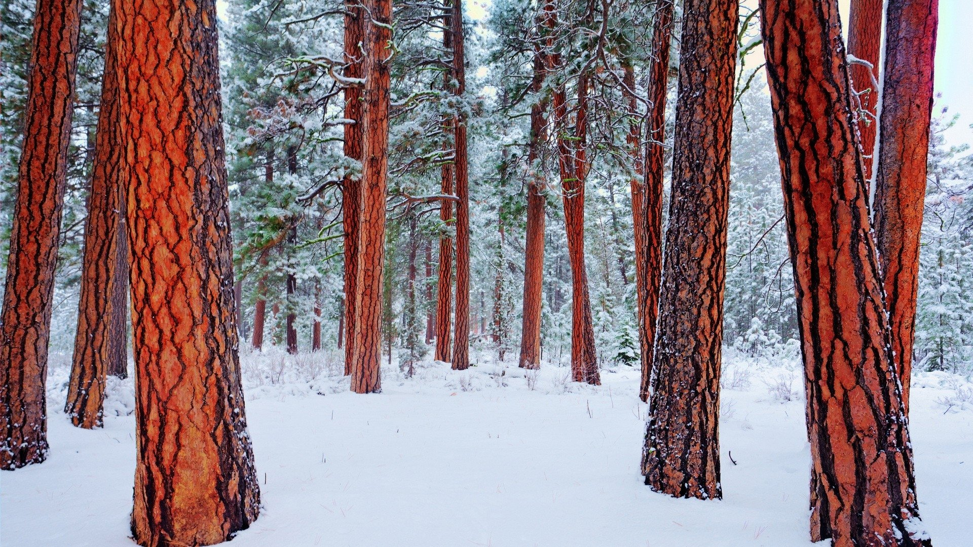 Redwood Forest In Winter Hd Wallpaper Background Image 1920x1080