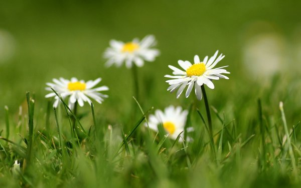 Earth Daisy Flowers Nature Grass Flower White Flower Blur HD Wallpaper | Background Image