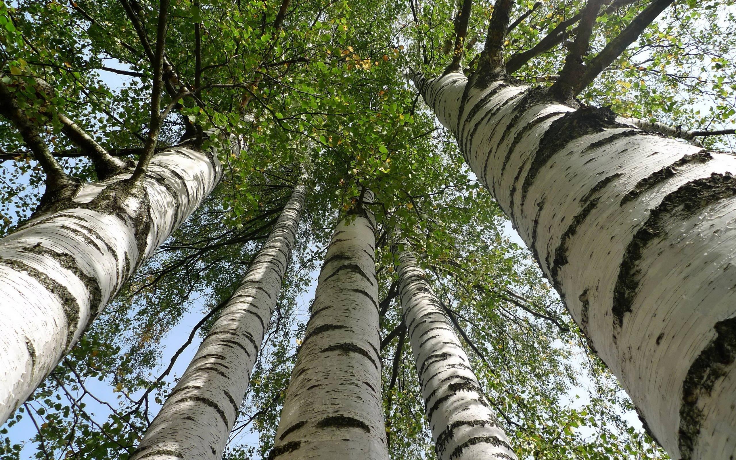 Tall Birch Trees HD Wallpaper   Background Image   2560x1600