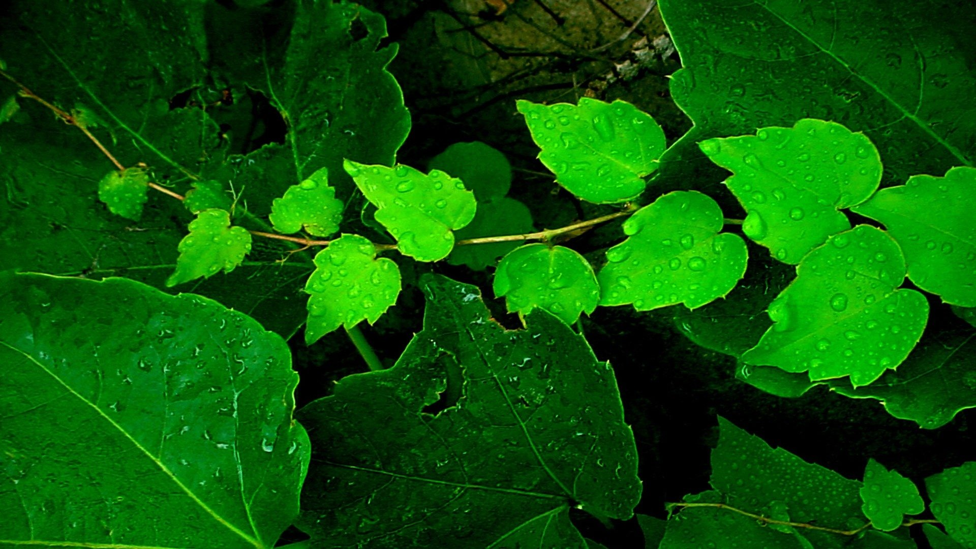Wet Green Leaves Hd Wallpaper Background Image 1920x1080