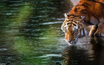1249 Big Cat Hd Wallpapers Background Images Wallpaper Abyss