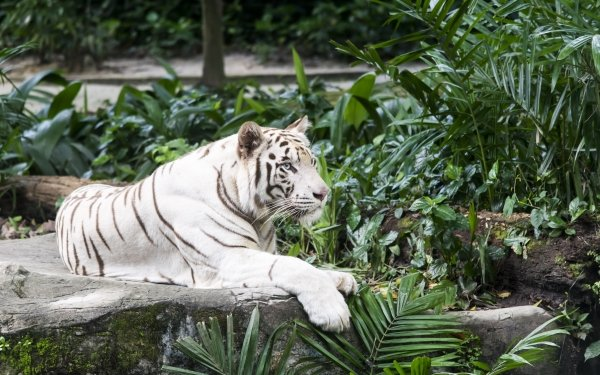Animal White Tiger Cats Tiger Big Cat predator Lying Down Zoo HD Wallpaper   Background Image