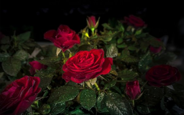 Earth Rose Flowers Nature Flower Water Drop Red Flower Red Rose HD Wallpaper | Background Image