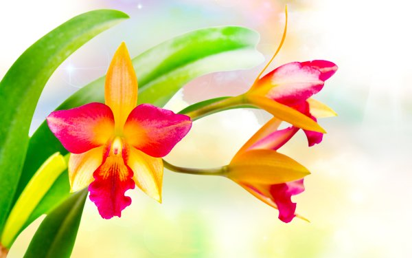 Earth Orchid Flowers Flower HD Wallpaper | Background Image