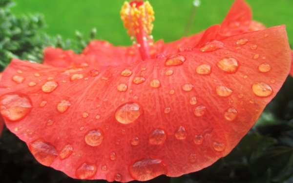 Earth Hibiscus Flowers Close-Up Flower Red Flower Water Drop HD Wallpaper   Background Image