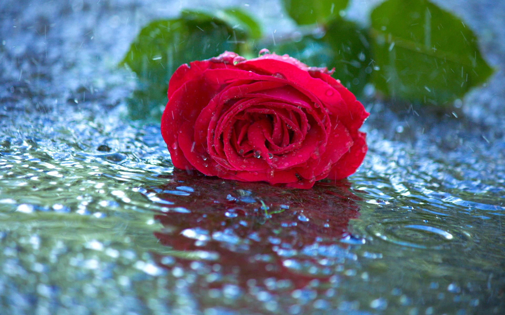 Red rose in the rain full hd wallpaper and background image earth rose flower earth red rose rain wallpaper altavistaventures Images