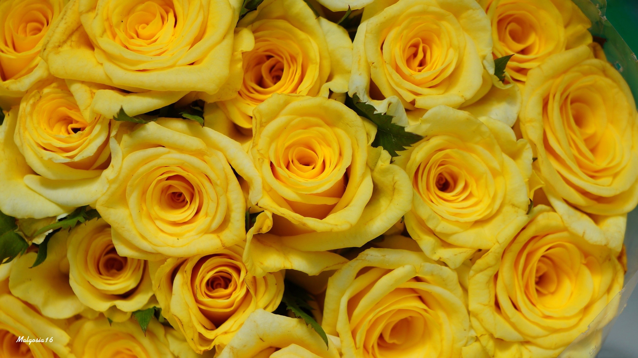 Yellow Roses Full HD Wallpaper and Background Image ...