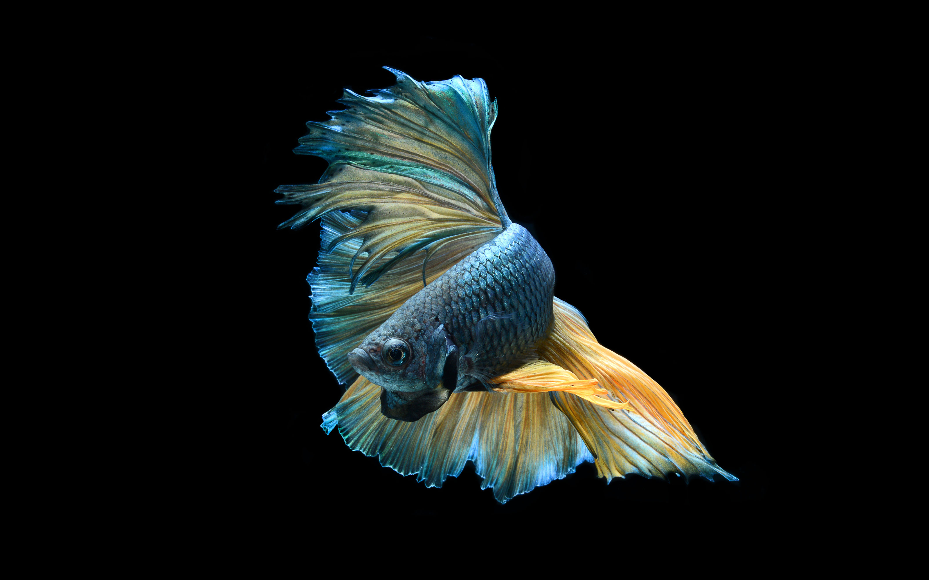 Betta Full HD Wallpaper and Background | 3200x2000 | ID:743867