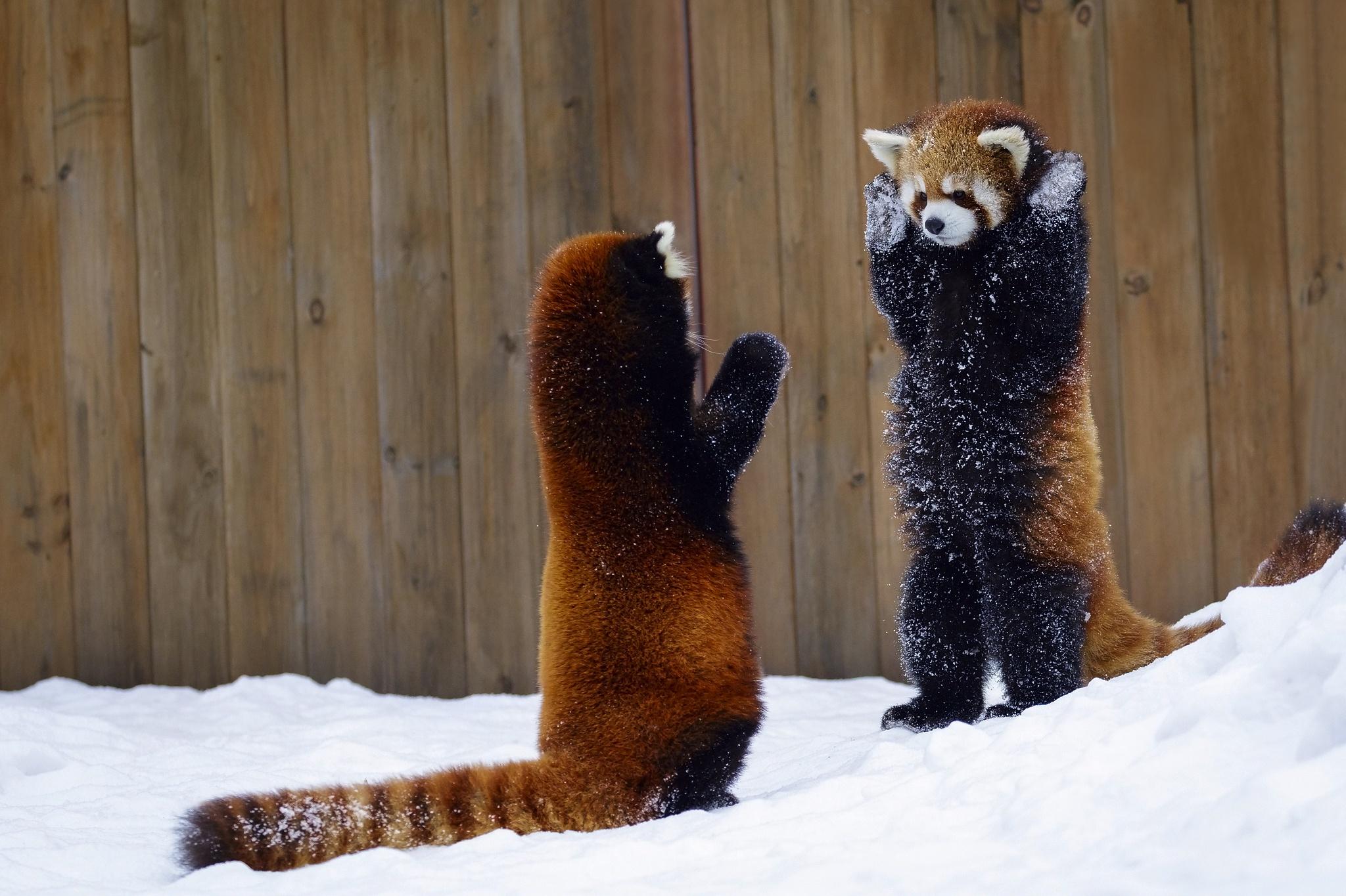 Red Panda HD Wallpaper | Background Image | 2048x1365 | ID ...