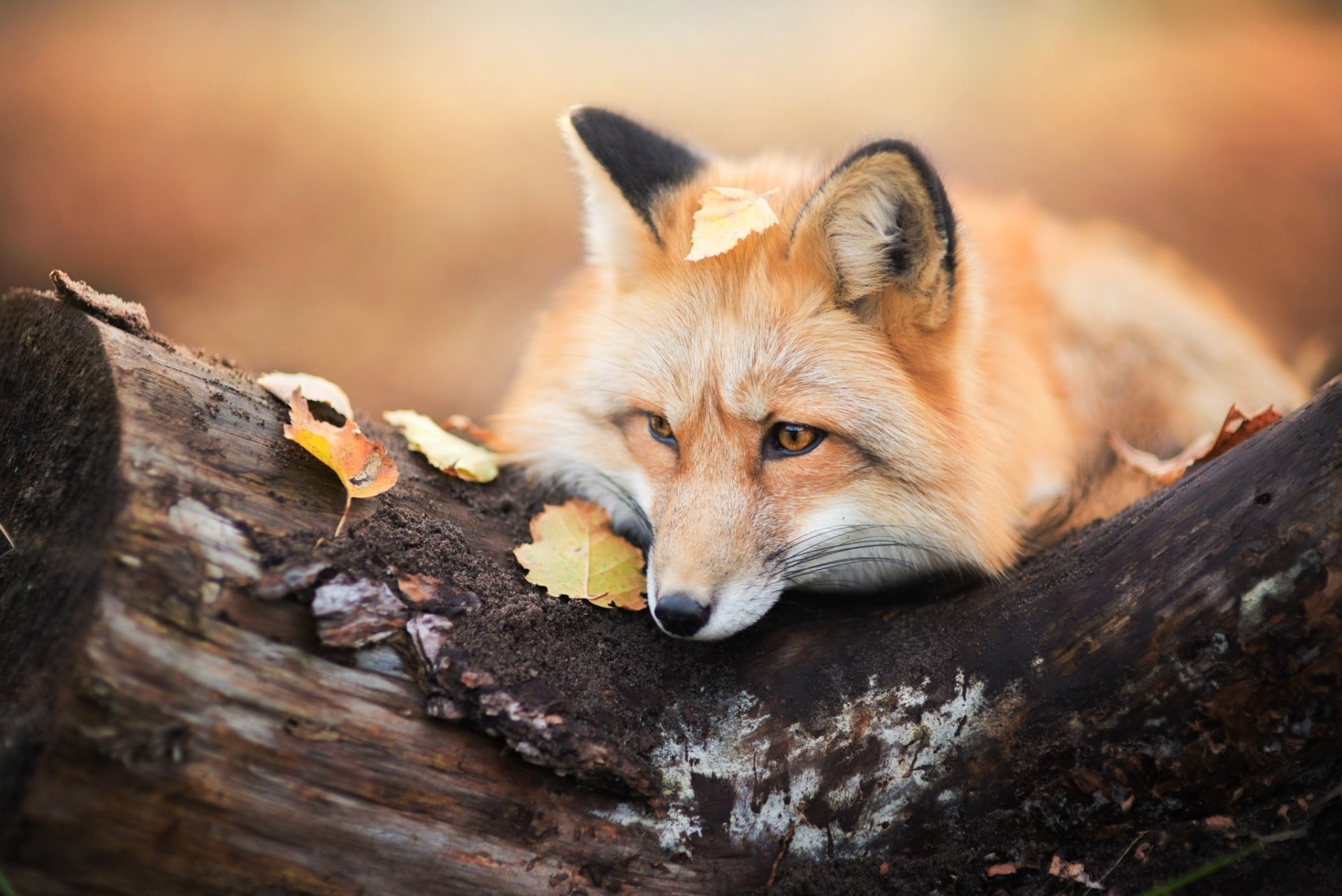 Animal - Fox  Wildlife Wallpaper
