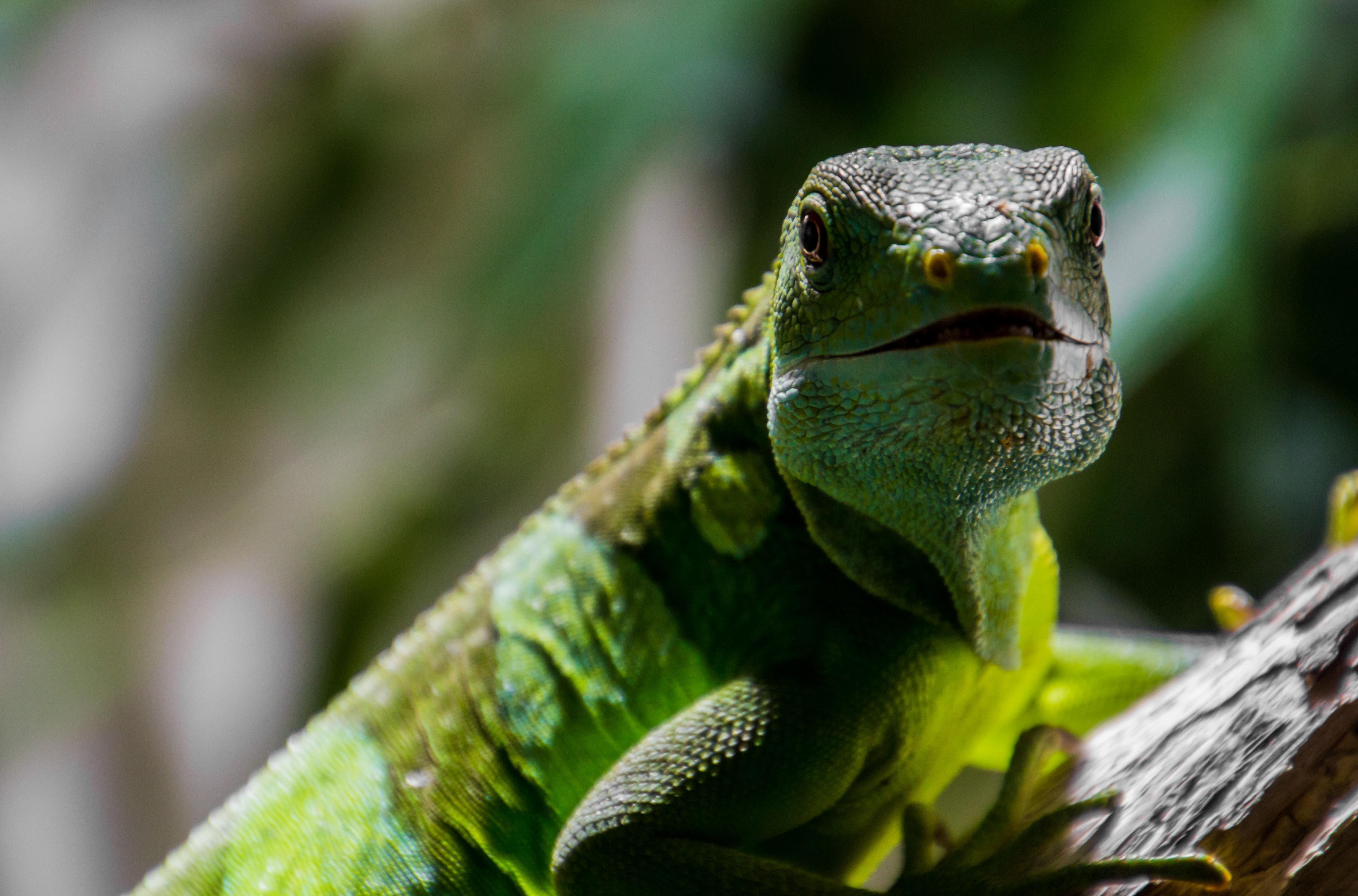 Iguana 4k Ultra HD Wallpaper | Background Image ...