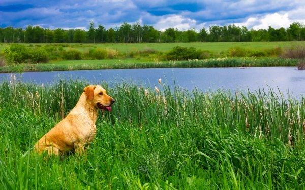 Animal Labrador Retriever Dogs Dog Pet Lake Grass HD Wallpaper | Background Image