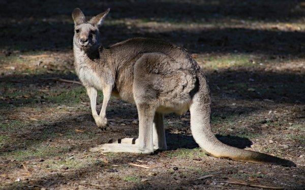 Animal Kangaroo Marsupial Mammal HD Wallpaper | Background Image