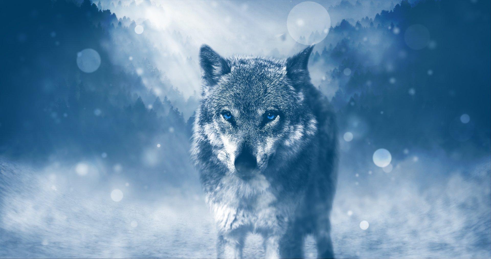Animal - Wolf  Artistic Blue Animal predator (Animal) Blue Eyes Bokeh Wallpaper