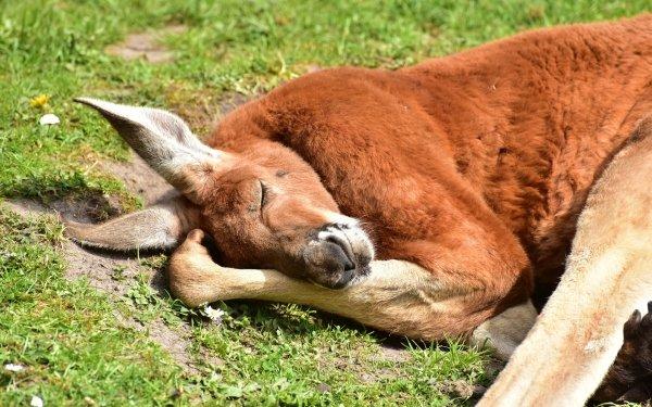 Animal Kangaroo Mammal Marsupial Sleeping HD Wallpaper | Background Image