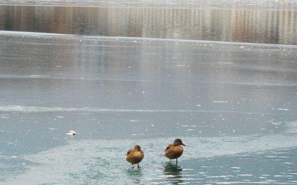 Animal Mallard Birds Ducks Ice Duck HD Wallpaper   Background Image