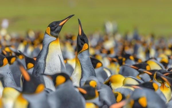Animal Penguin Birds Penguins Wildlife Bird Blur King Penguin HD Wallpaper | Background Image