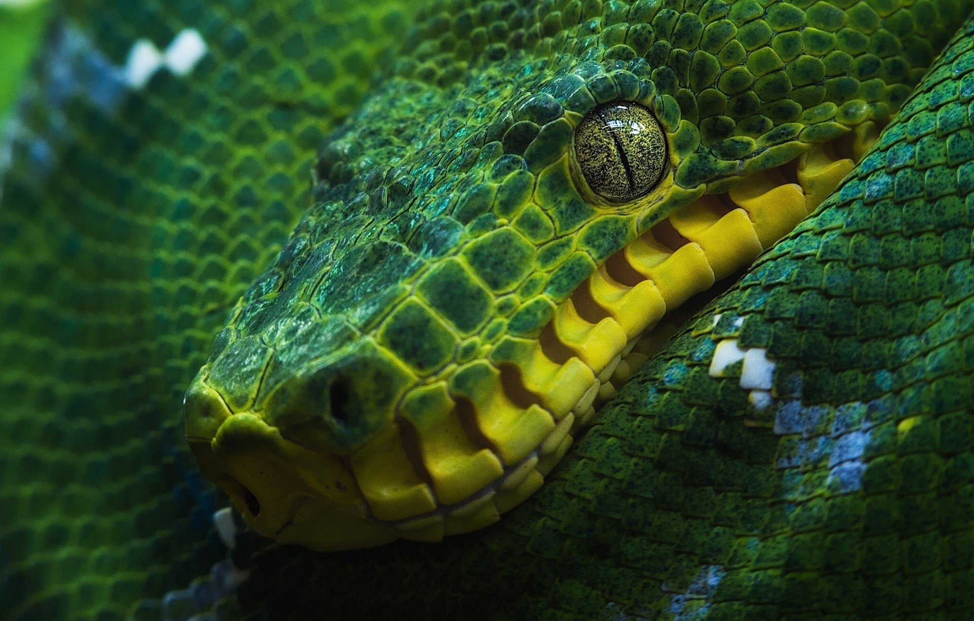 Green Tree Python Full HD Wallpaper And Background Image