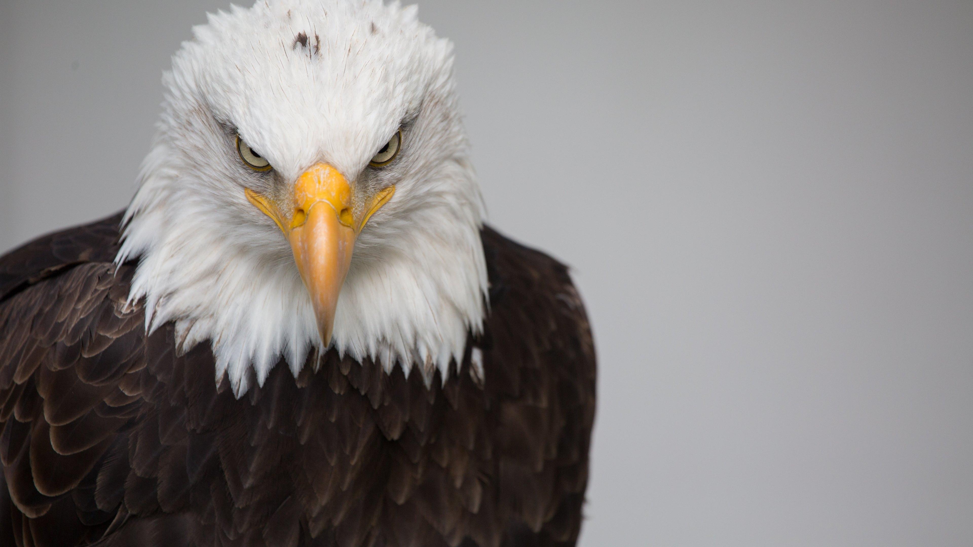 Hd wallpaper eagle - Hd Wallpaper Background Id 789283 3840x2160 Animal Bald Eagle