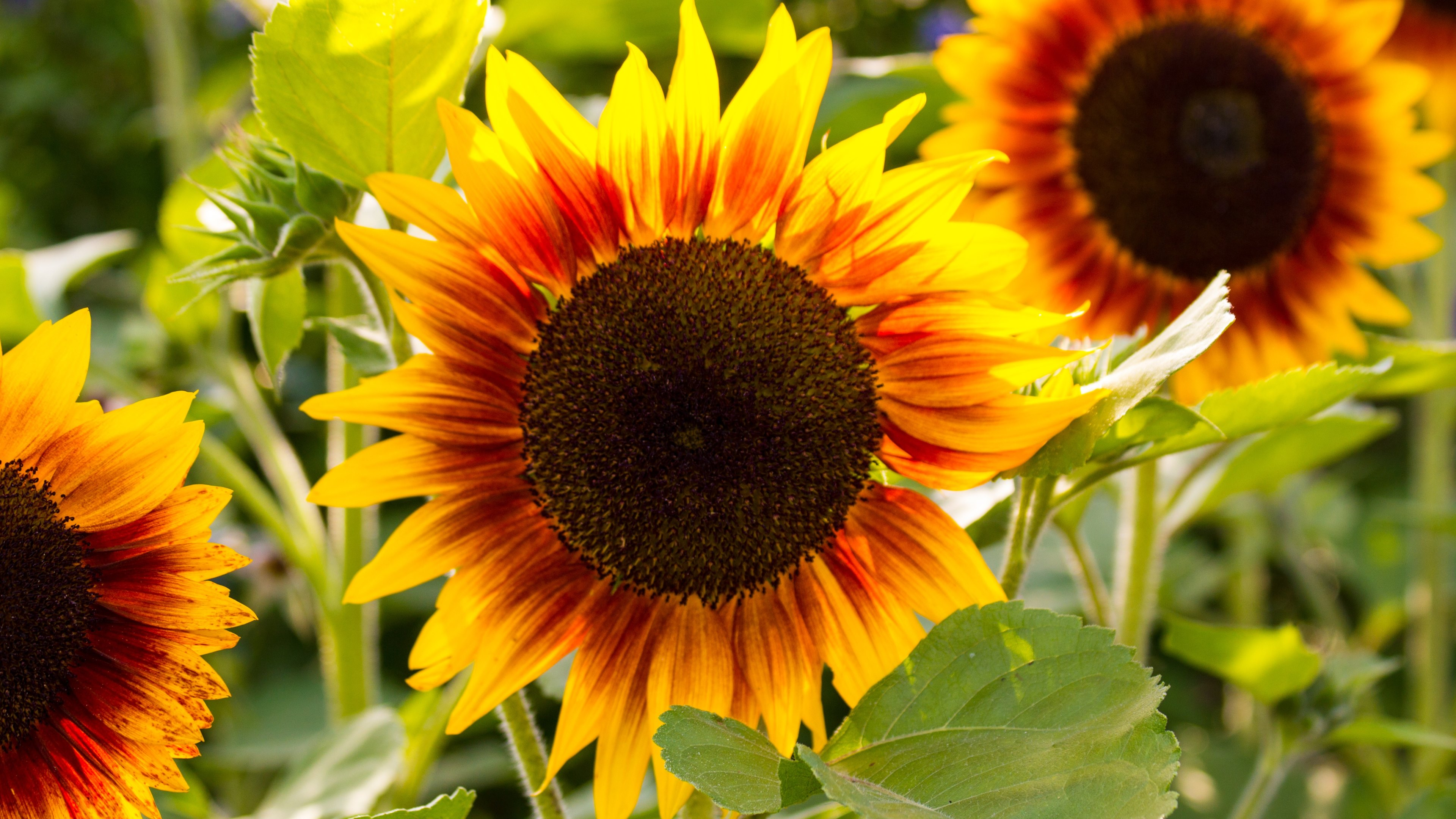 sunflowers 4k ultra hd wallpaper | background image | 3840x2160 | id