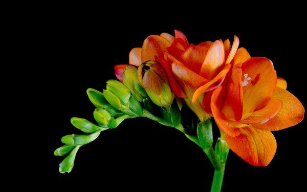 Earth Flower Flowers Freesia Orange Flower HD Wallpaper | Background Image