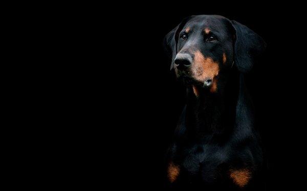 Animal Doberman Pinscher Dogs Dog Muzzle HD Wallpaper | Background Image