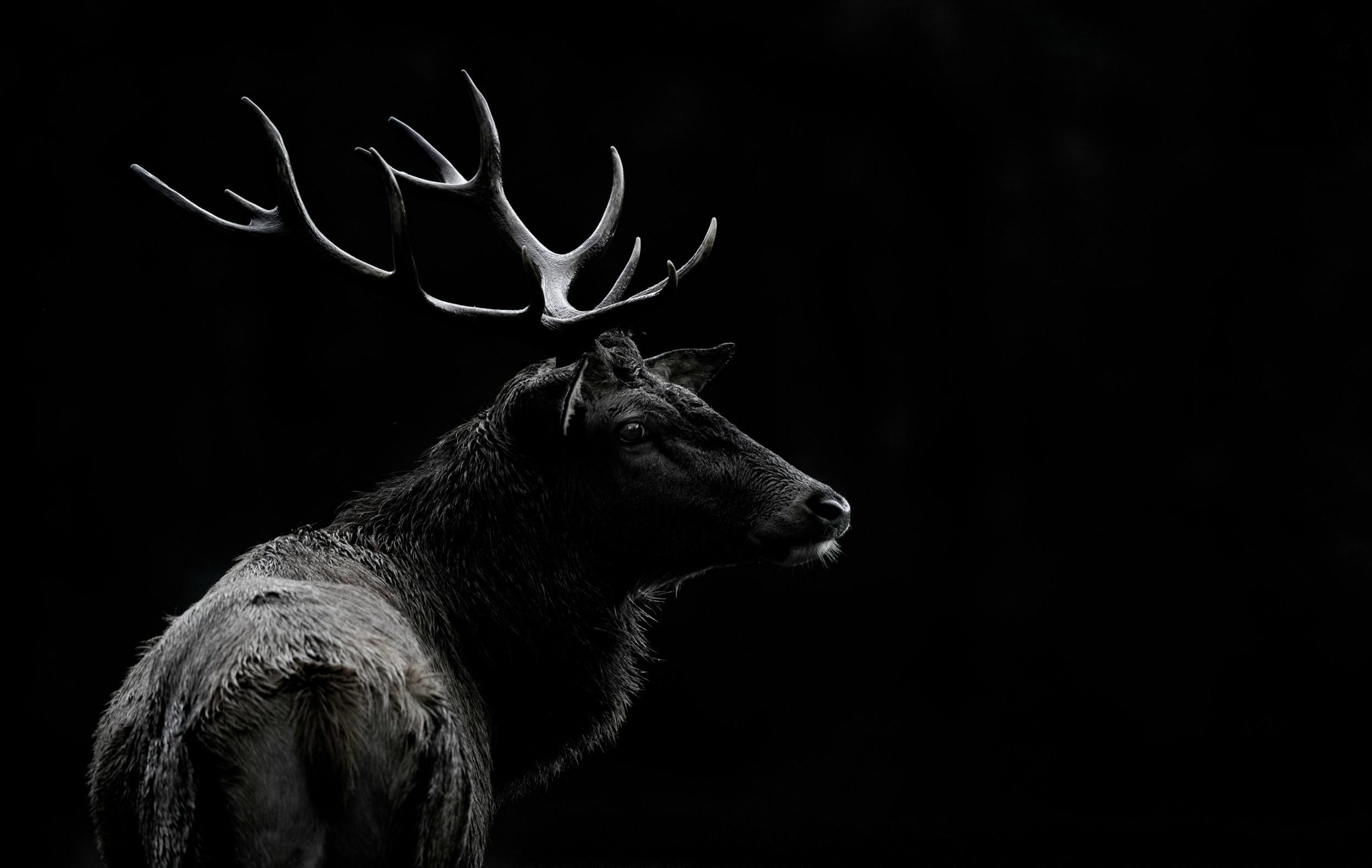 Deer hd wallpaper background image 2500x1582 id - Animal black background wallpaper ...