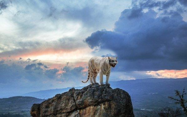 Animal White Tiger Cats Rock predator Cloud Sky HD Wallpaper   Background Image
