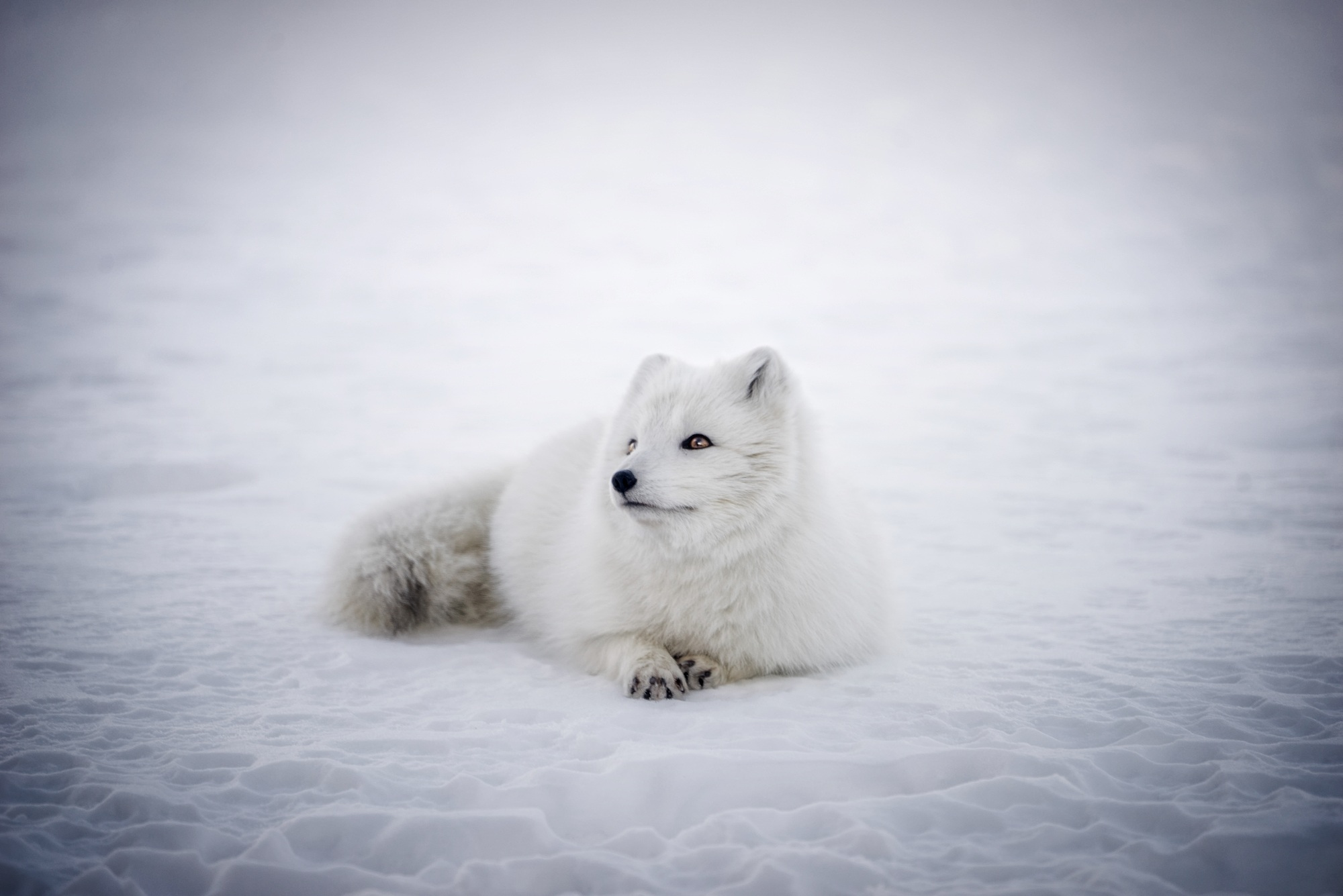 86 Arctic Fox Hd Wallpapers Background Images Wallpaper