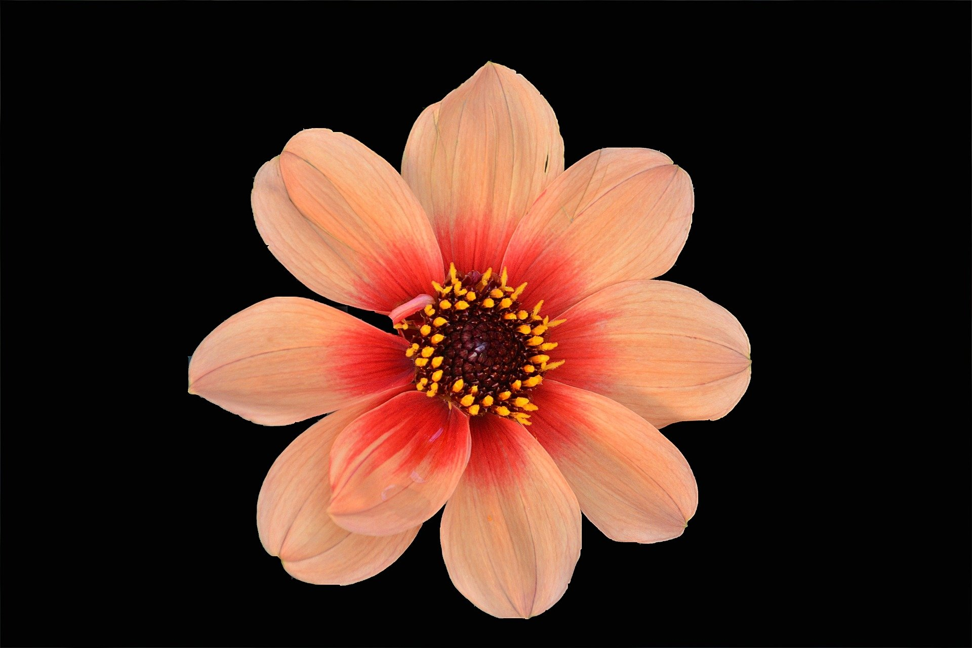 Coral Colored Flower Hd Wallpaper Background Image 1920x1280 Id 811477 Wallpaper Abyss