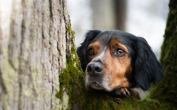 Animal Sennenhund Dogs Muzzle Stare Dog HD Wallpaper | Background Image