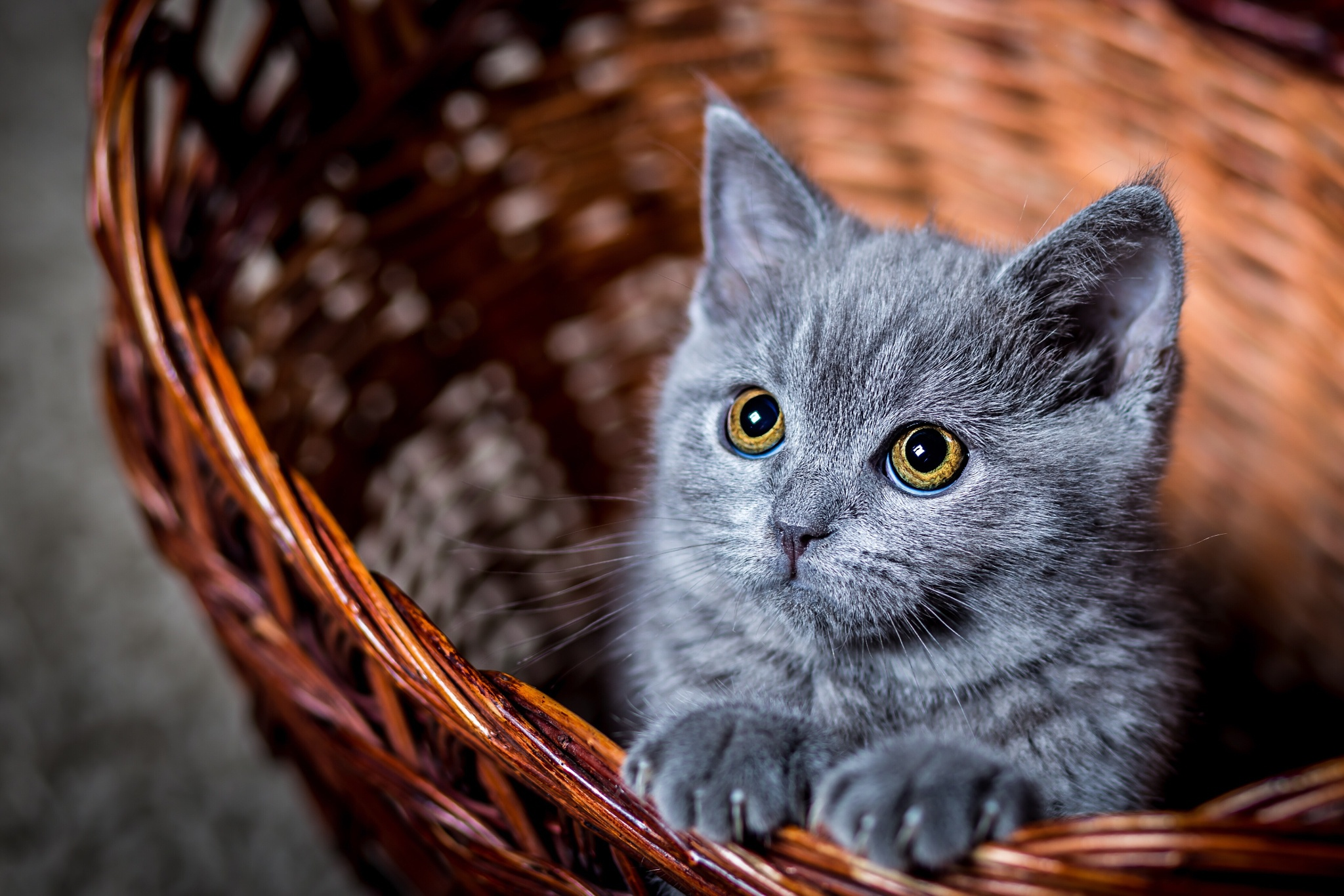 Cute gray kitten in a basket hd wallpaper background - Kitten backgrounds ...