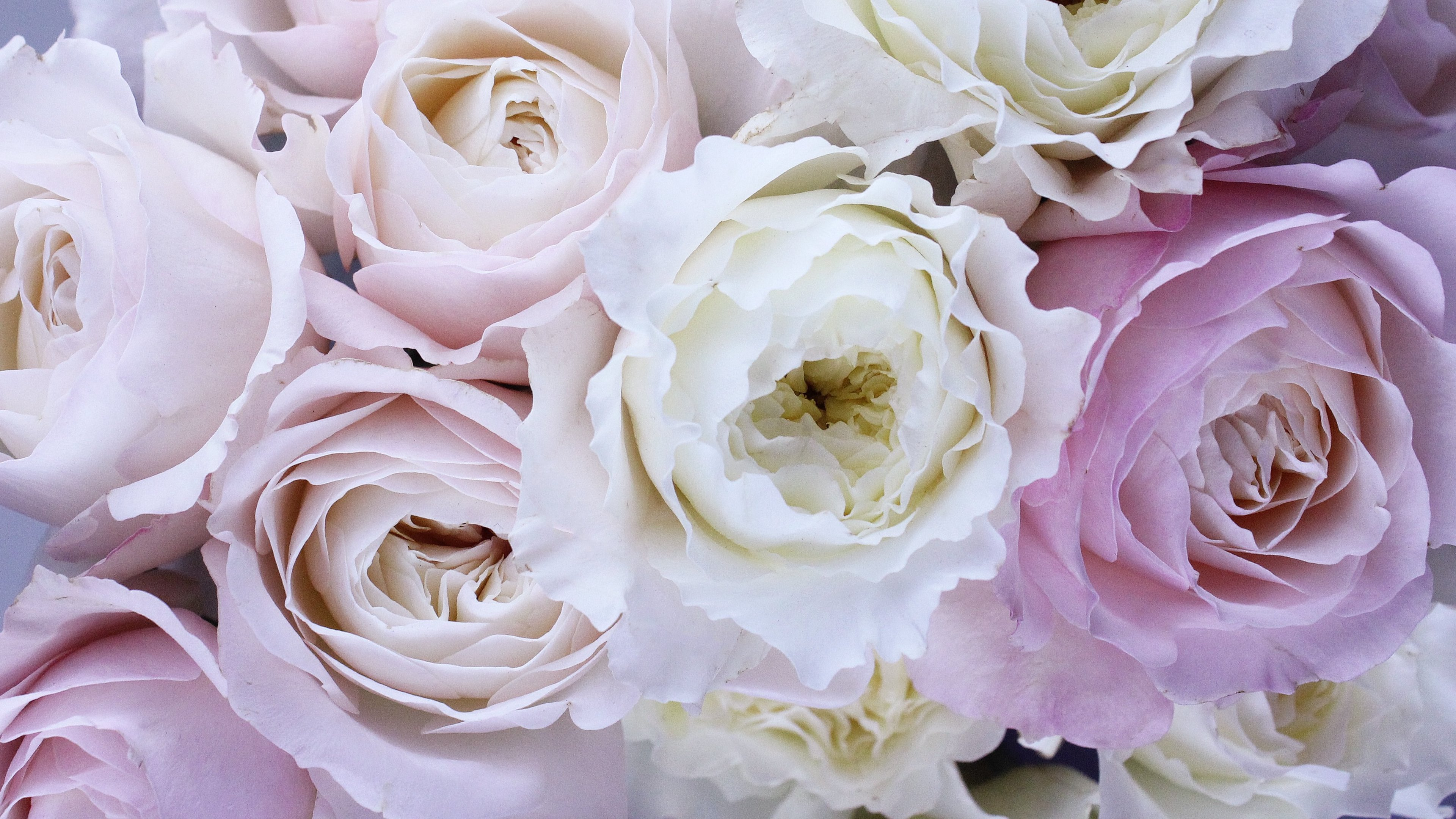 Light Purple and White Roses 4k Ultra HD Wallpaper | Background ...