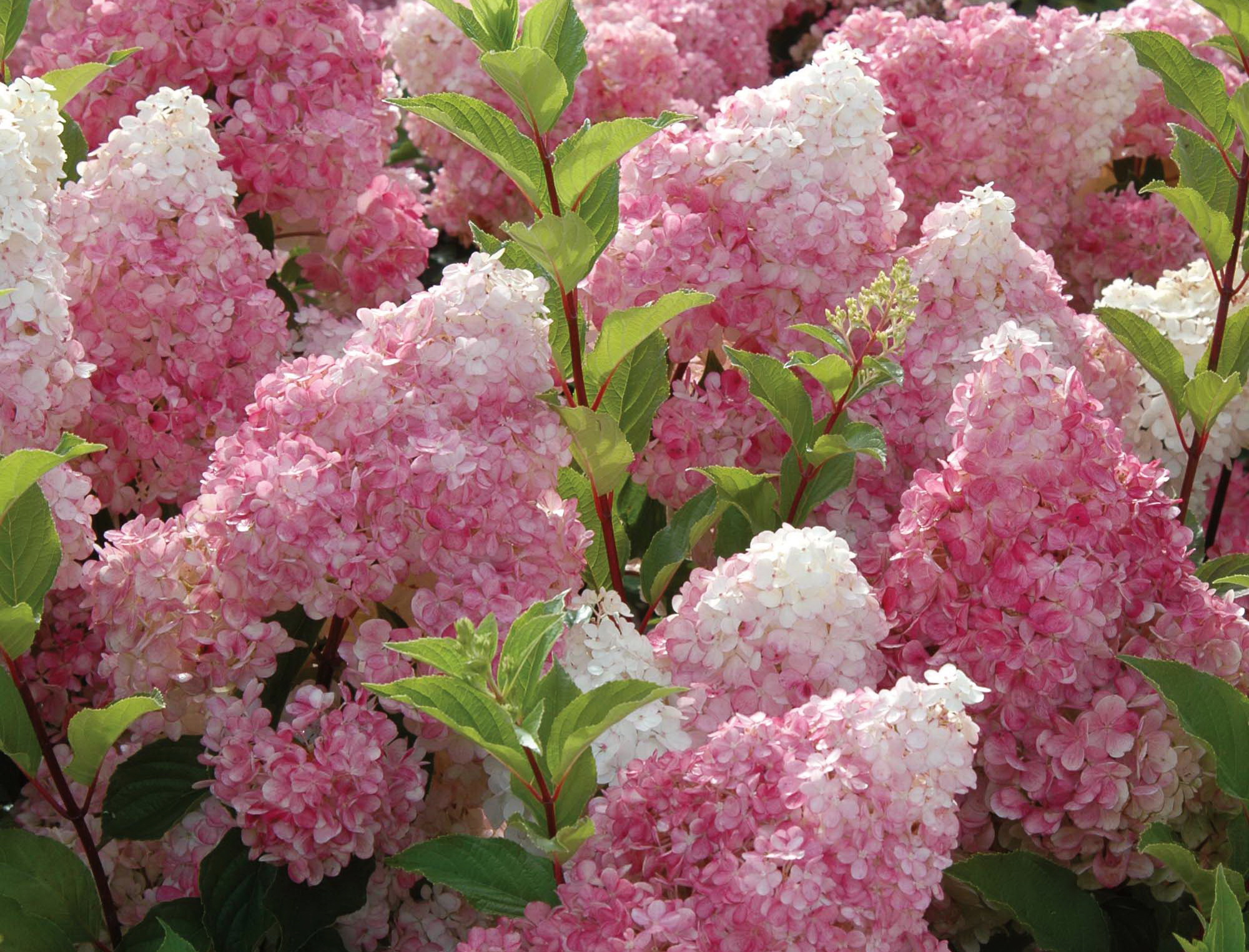 Pink Lilacs Hd Wallpaper Background Image 2000x1525 Id828717
