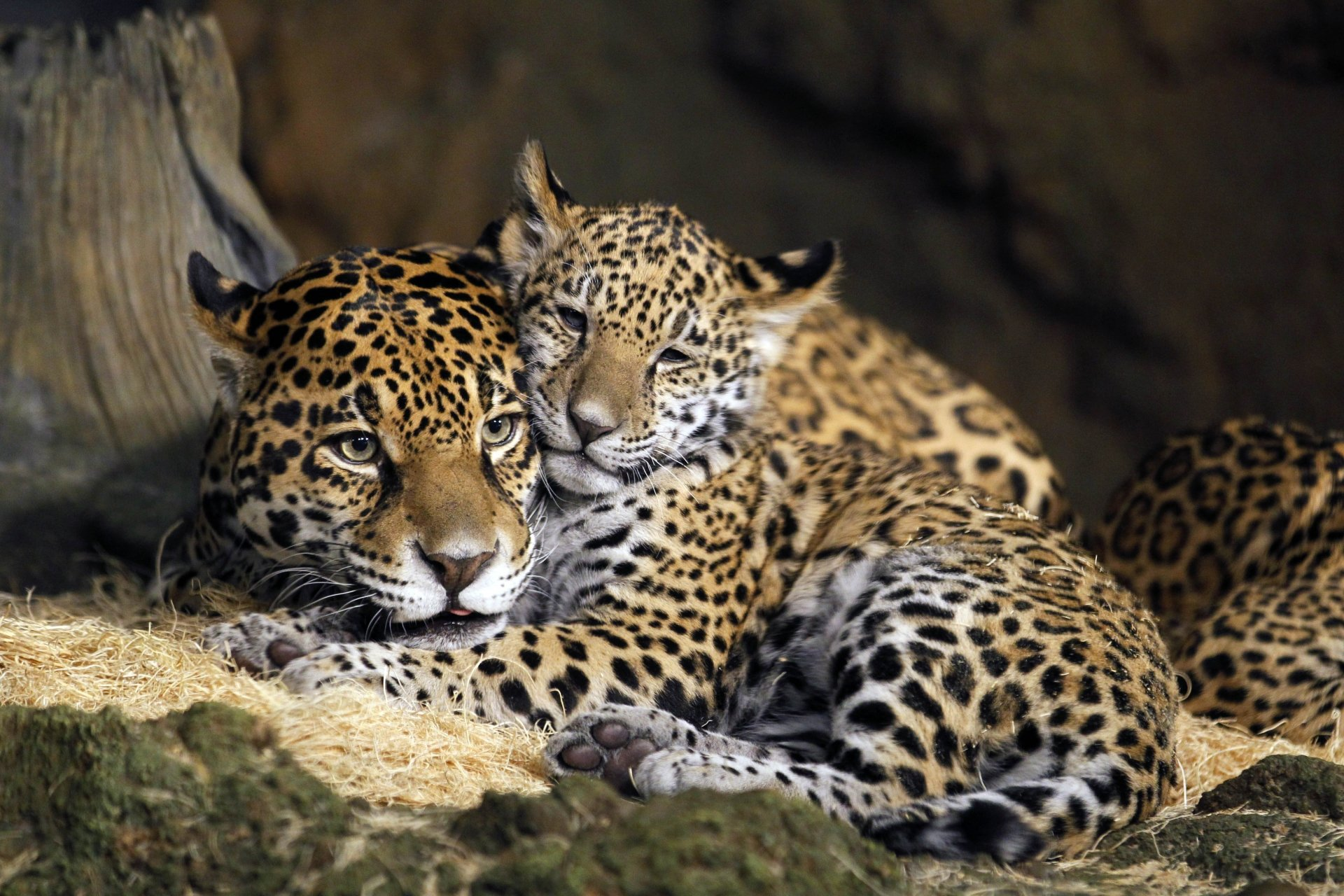 Animal - Jaguar  Wildlife Cub Big Cat Baby Animal predator (Animal) Wallpaper