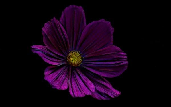 Artistic Flower Flowers Painting Anemone Purple Flower HD Wallpaper   Background Image