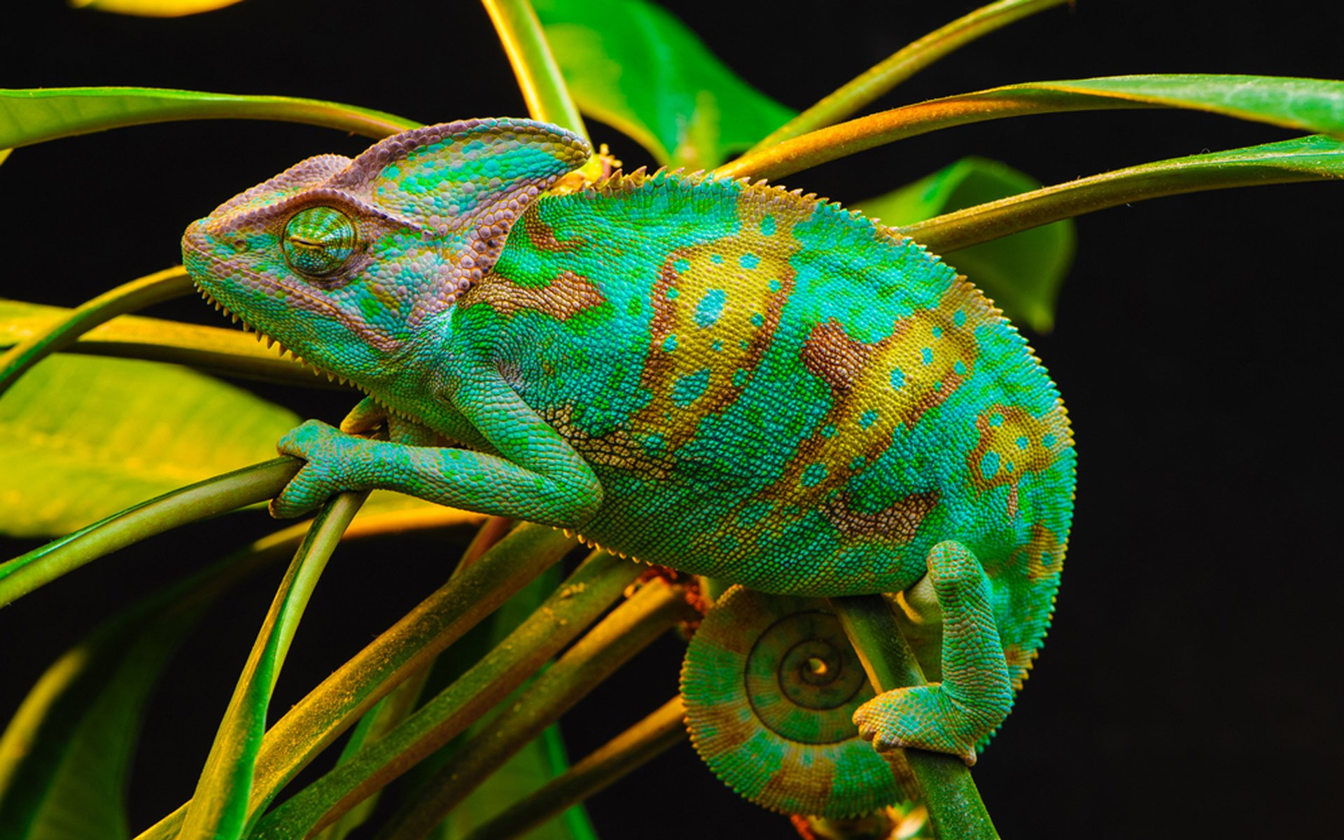 chameleon wallpaper 1920x1200 - photo #12