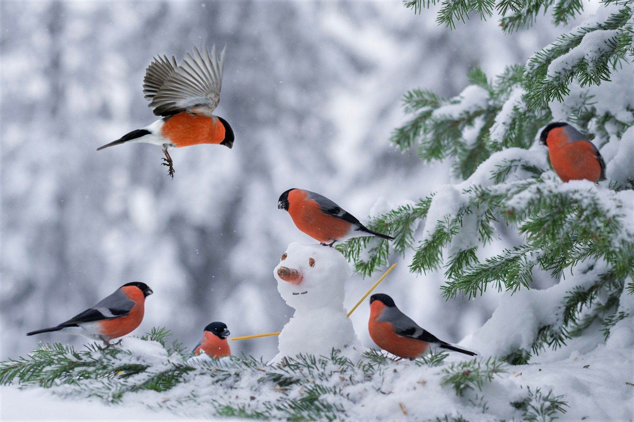 bullfinches in snow covered tree fond d 39 cran hd arri re plan 2048x1363 id 866026. Black Bedroom Furniture Sets. Home Design Ideas